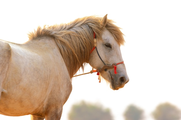 Close up face of white horse standing outdoor