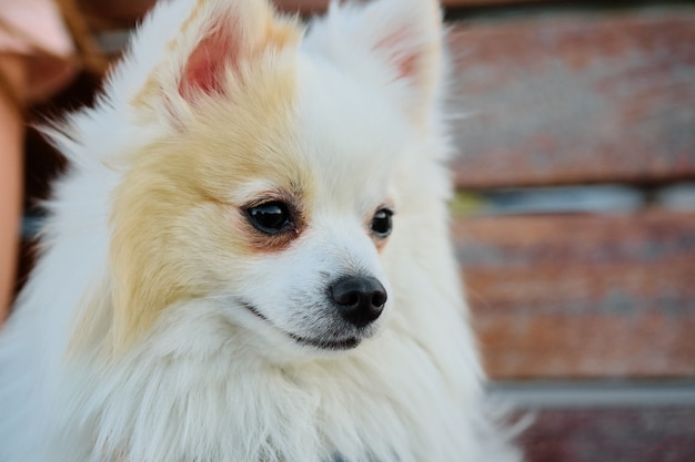 Close-up face of white pomeranian spitz.