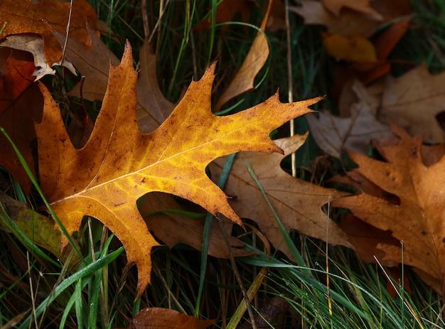 녹색 잔디, 높은 각도보기에 바닥에 누워, 비 후 물 방울과 타락한 가을 갈색과 주황색 떡갈 나무 잎을 닫습니다