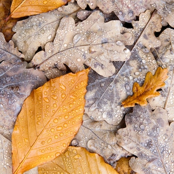 Close up of fallen autumn tree leaves with drops of water from fog or rain, top view. wet oak leaves lying on ground.