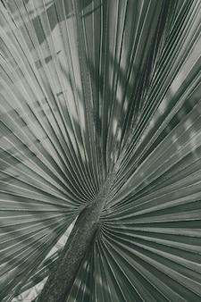 Primo piano di sfondo con texture foglia di palma ventaglio