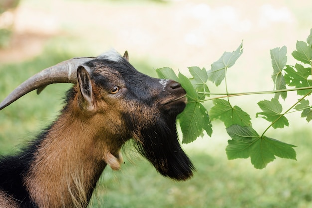 Close-up farm goat eating leaves
