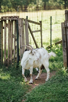 Close-up farm goat entering stable