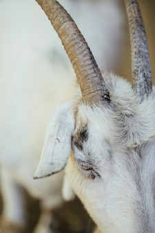 Close-up farm goat horns