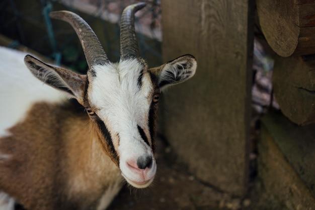 Крупный план фермы коз в конюшне