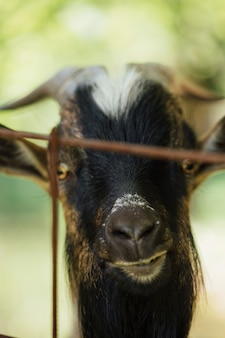 Close-up farm goat in stable