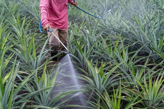 Close up farmer sprays pineapple plant pollen fertilizer mix in pineapple farm