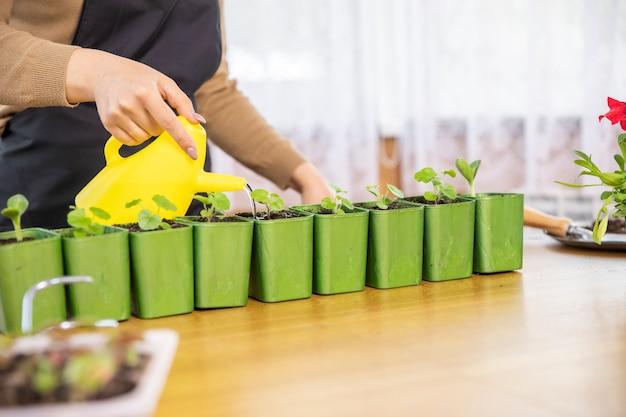 黄色のじょうろで若い緑の苗に水をまく女性の庭師をクローズアップ