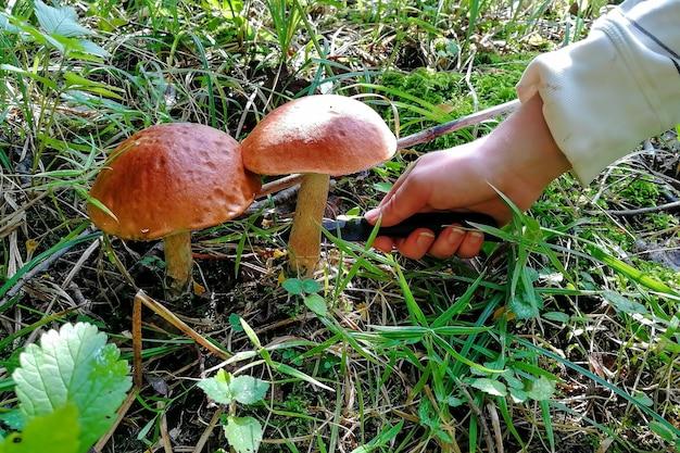 Крупным планом женская рука с ножом отрезает два красивых высоких съедобных лесных гриба коричневых подберезовиков, которые растут в зеленой траве на лужайке в лесу в солнечный осенний день. мягкий фокус