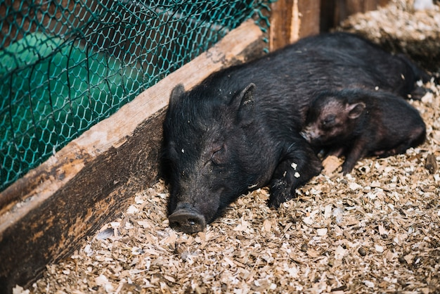 Close-up of a female pig sleeping with piglets in the farm