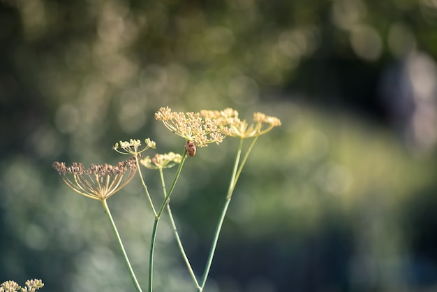 Close-up of fennel flowers