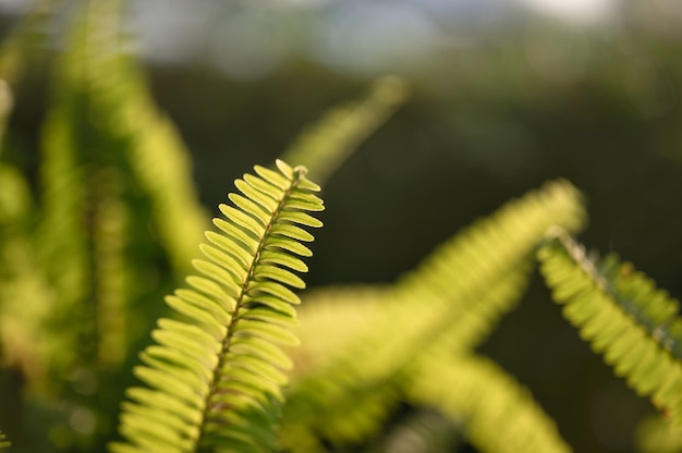 Close-up fern green leaves in garden on natural background