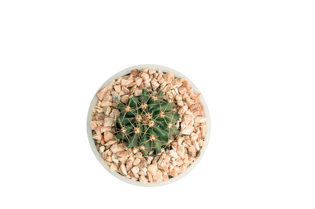 Close up ferocactus in white pot isolated