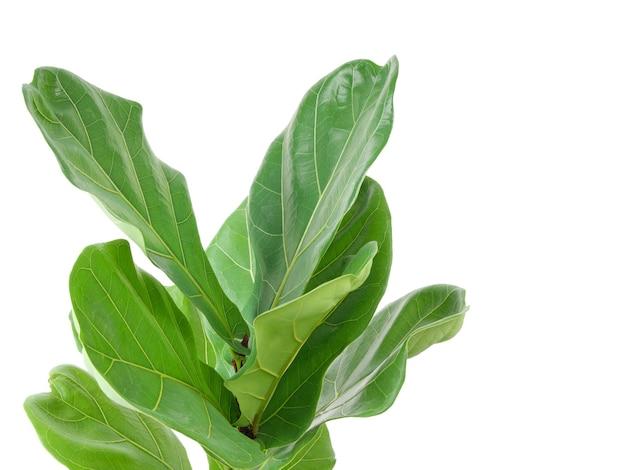 Крупным планом скрипка инжир зеленые листья комнатные растения очиститель воздуха дерево, изолированные на белом фоне