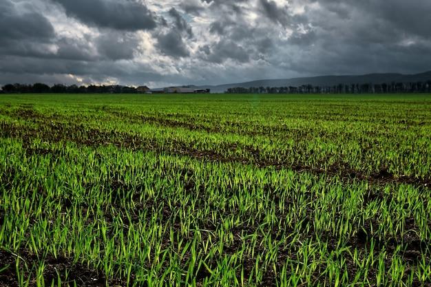 Закройте вверх. поле для сельского хозяйства, из почвы начали прорастать молодые всходы озимой пшеницы или зерновых культур.