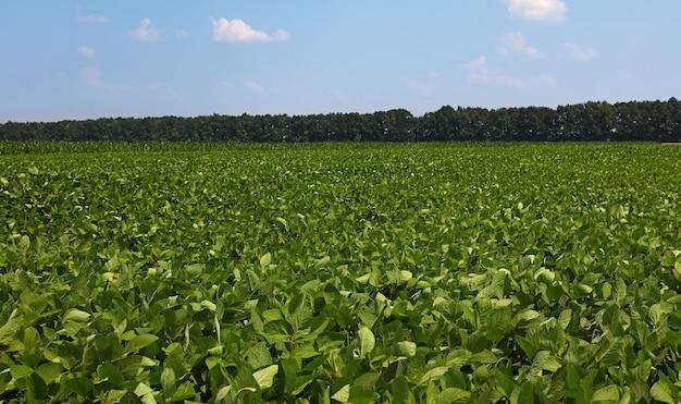 맑고 푸른 하늘, 높은 각도보기 아래 녹색 콩 식물의 필드를 닫습니다
