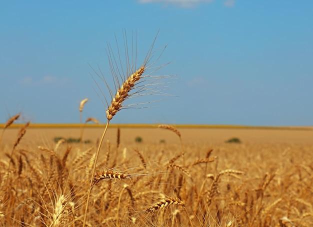 맑고 푸른 하늘 아래 익은 밀이나 호밀 귀를 닫고 낮은 각도 보기