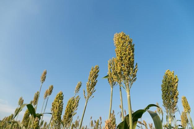 ソルガムまたはキビの重要な穀物作物の畑をクローズアップ