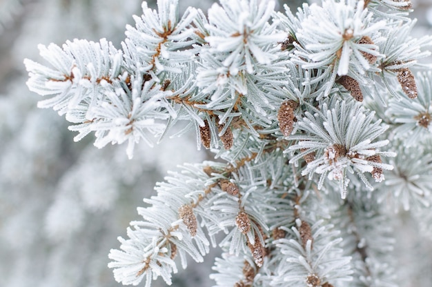 Close up of fir tree branch in the snow