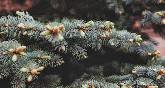 근접 전나무 나뭇가지입니다. 배경 질감 모피 나뭇가지입니다. 크리스마스 벽지 개념입니다. 축제와 자연 배경입니다. 사이트 복사 공간