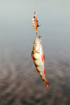 Close-up of a fish caught with fishing bait