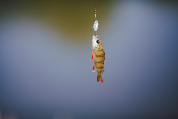 Close-up of a fish hanging on hook