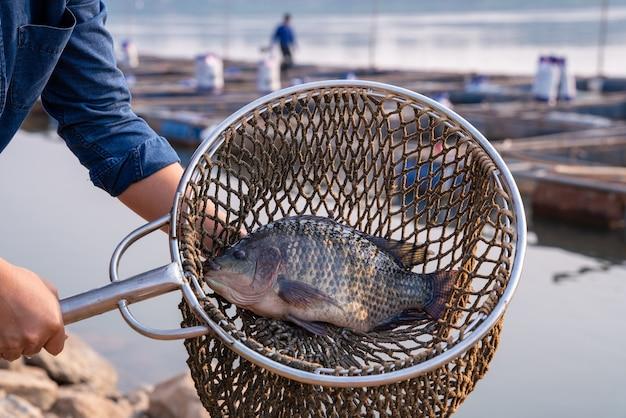 漁師が漁網でティラピアの魚を捕まえる