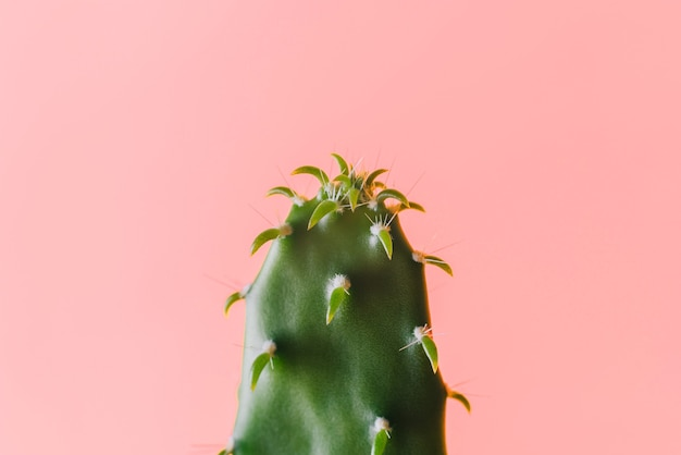 Крупным планом плоский зеленый кактус на розовом фоне