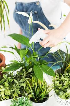 Primo piano di una mano del fiorista che spruzza acqua sulle piante in vaso con la bottiglia dello spruzzo