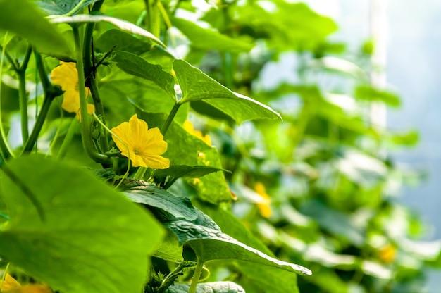 Close up flower cucumber in greenhouse