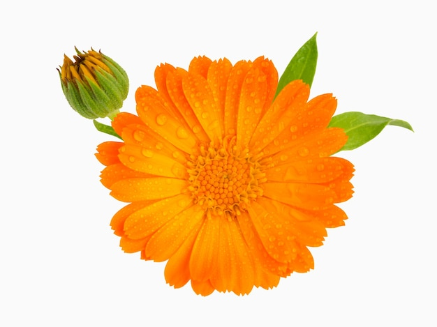 A close up of the flower of medicinal herb pot marigold calendula officinalis isolated on white