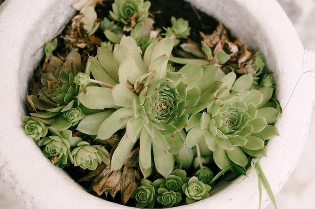 Close-up flower pot with a bush of eonium succulents.