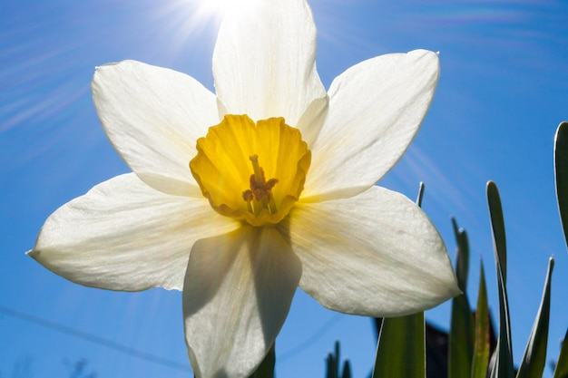 Close-up flower of white narcissus and sunbeams on blue sky.