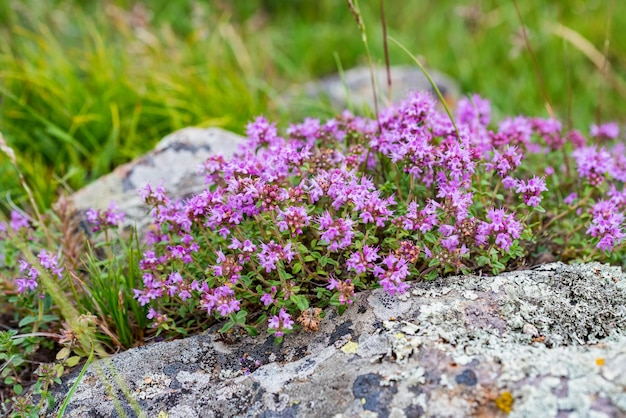 Close-up of flowering common thyme or thymus vulgaris close