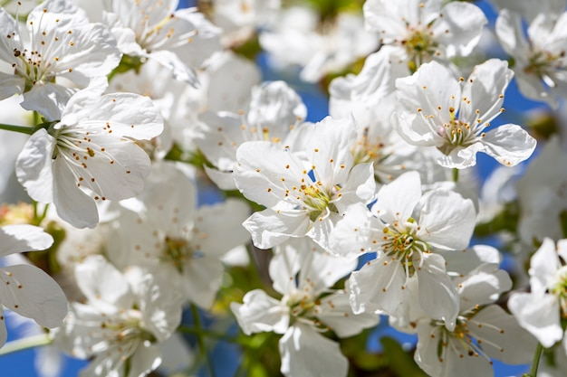 Close-up of flowers on a blooming apple tree
