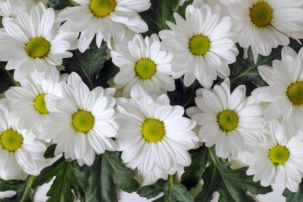 白い背景の上の秋のlevcantemellaカモミールのクローズアップの花
