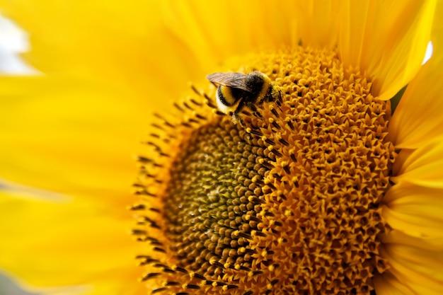 Крупным планом пушистый шмель собирает пыльцу на подсолнечнике