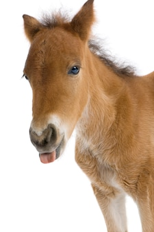 Close-up of a foal's head sticking his tongue out on a white isolated