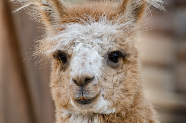 Close up and focus on llama face