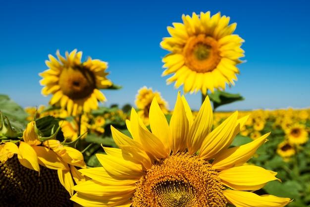 Закройте вверх по взгляду фокуса солнцецветов зацветая в поле на солнечный день.