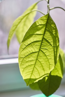 Close-up of foliage of a young avocado tree against a rainy window