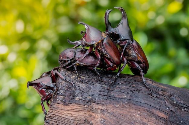 목재에 4 개의 코뿔소 딱정벌레를 닫습니다