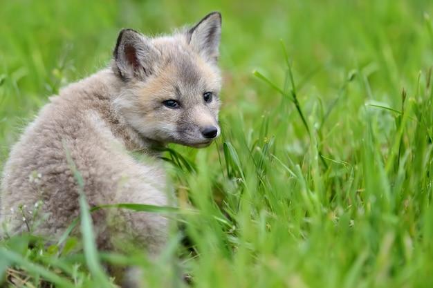 Заделывают детеныш лисы в траве