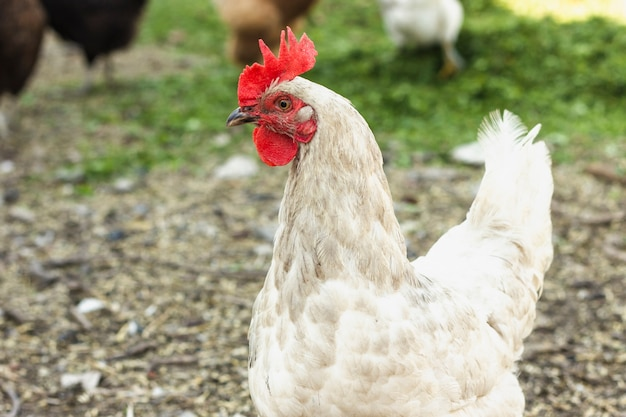 Close-up free white chicken at farm
