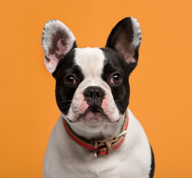 Close-up of a french bulldog in front of an orange wall