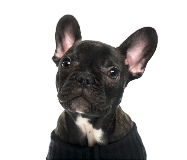 Close-up of a french bulldog in front of a white wall