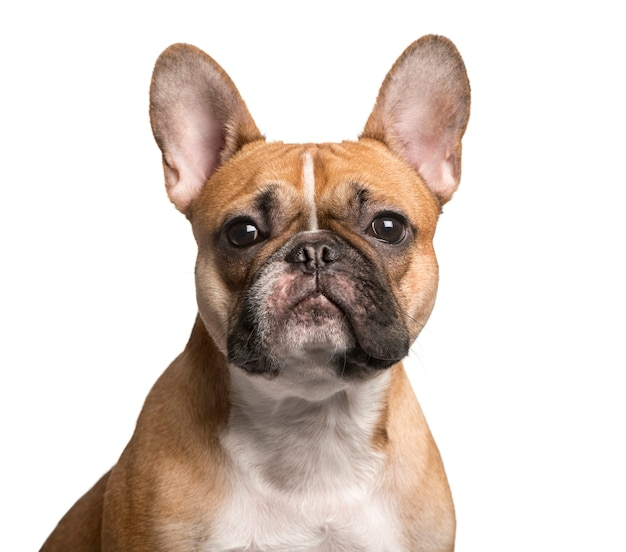 Close up of a french bulldog looking at the camera isolated on white
