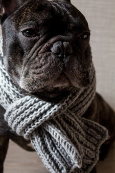 Close up french bulldog with a knitted warm scarf, cute cozy black dog.