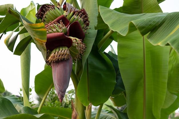 Close up fresh banana blossom on banana tree in the garden