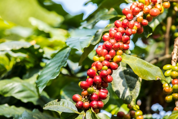Close-up fresh coffee beans ripening growing on tree with coffee leaf on the background